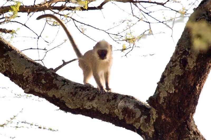 large_Black_Face..Monkeys_9-2.jpg