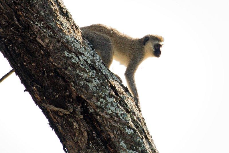 large_Black_Face..Monkeys_9-4.jpg