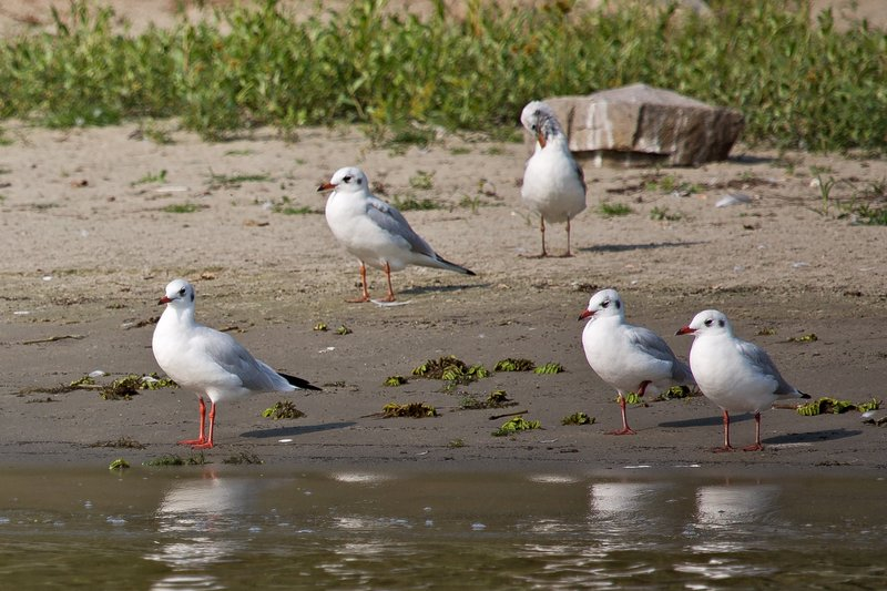 large_Black_Headed_Gulls_1.jpg