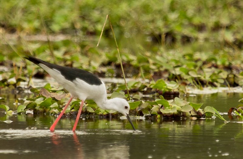 large_Black_Winged_Stilt_2.jpg