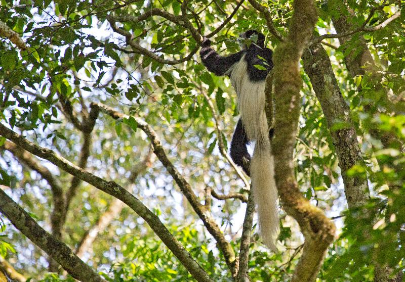 large_Black_and_..us_Monkey_1.jpg