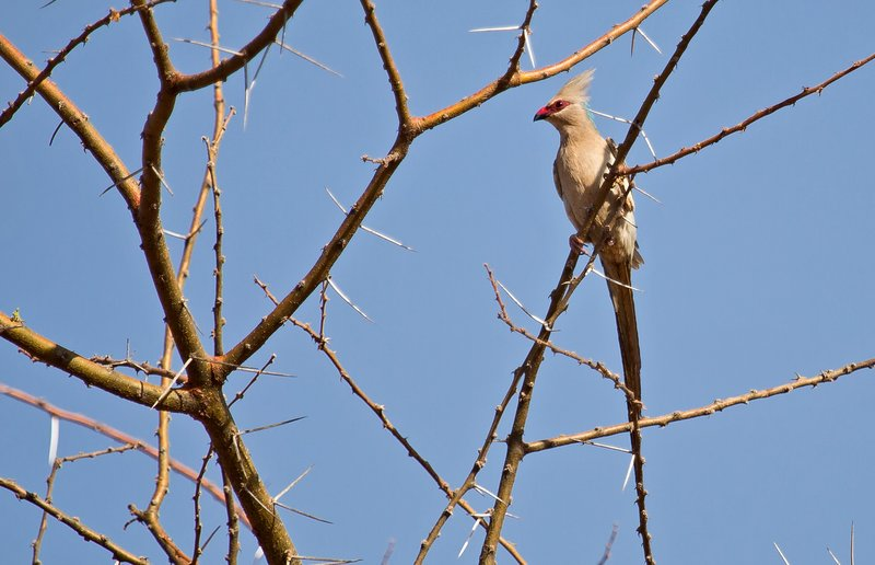 large_Blue_Naped_Mousebird_1.jpg