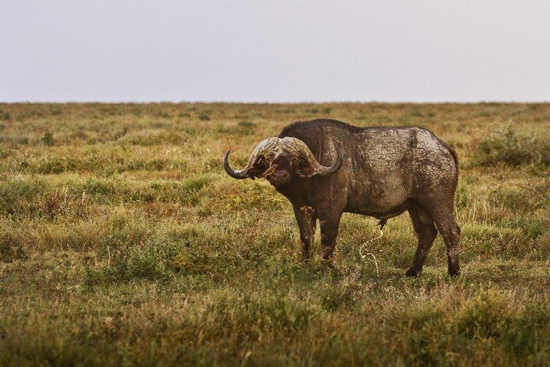 large_Buffalo_22.jpg