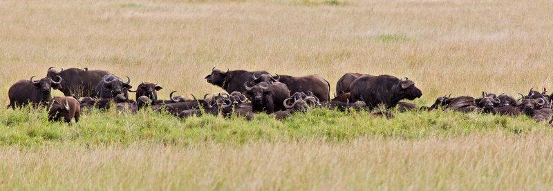 large_Buffalo__Cape_9-1.jpg