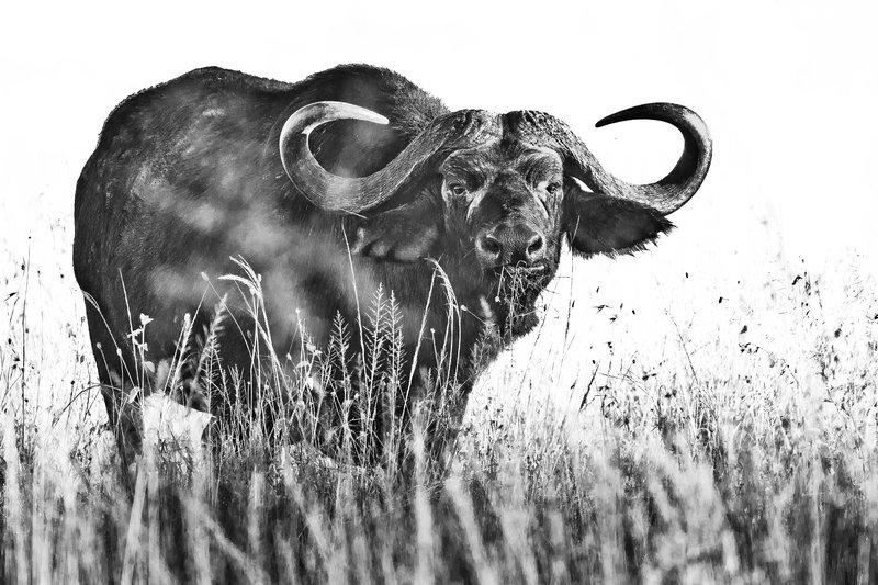 large_Buffalo__Cape__B_W_1.jpg