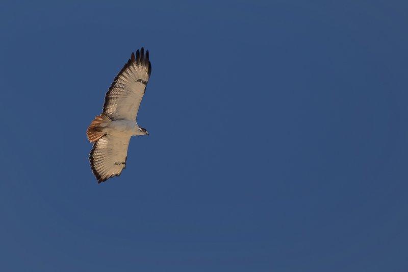 large_Buzzard__Augur__Flying_1.jpg