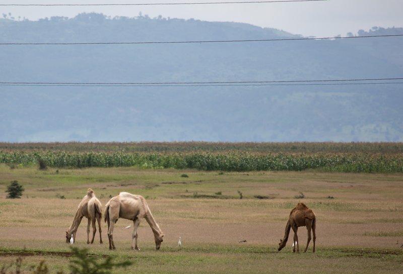 large_Camels_2.jpg