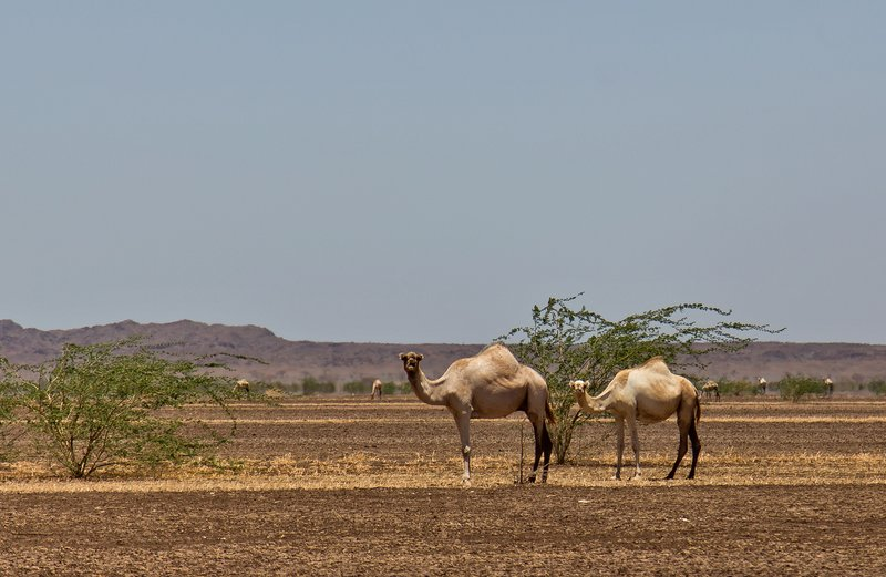 large_Camels_at_Kalacha_Dida_6.jpg