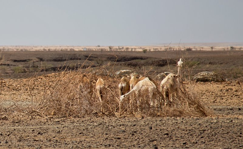 large_Camels_nea..a_Village_1.jpg