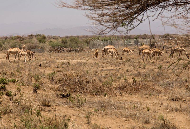 large_Camels_neat_Isiolo_1.jpg
