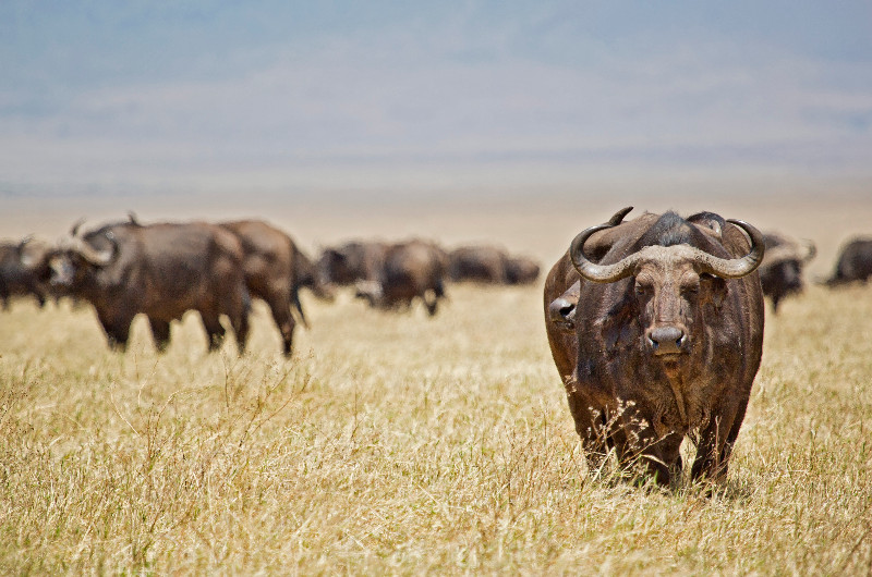large_Cape_Buffalo_1.jpg
