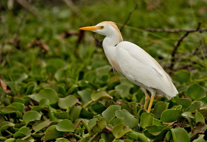 large_Cattle_Egret_35.jpg