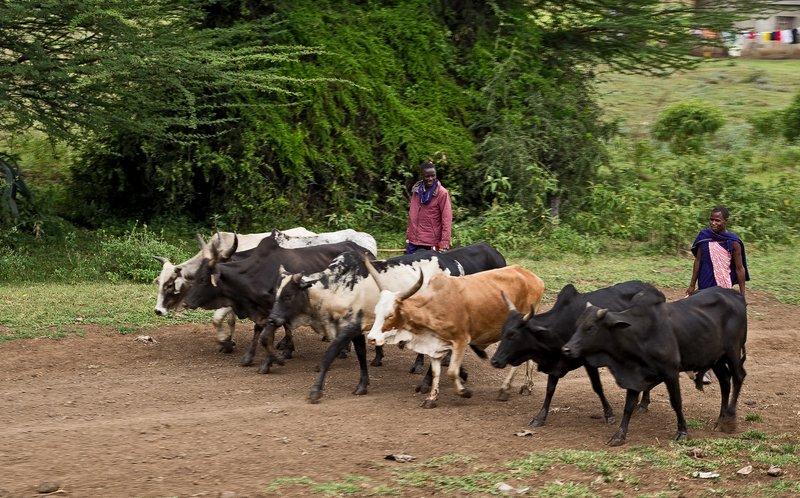 large_Cattle_Herding_1.jpg