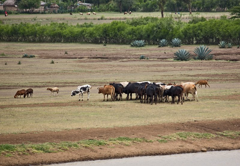 large_Cattle_at_watering_Hole_1.jpg