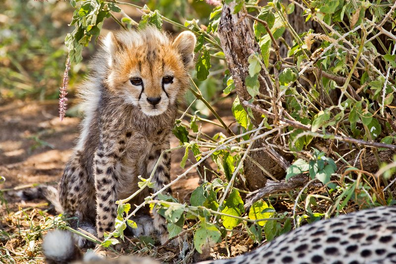 large_Cheetah_12.jpg