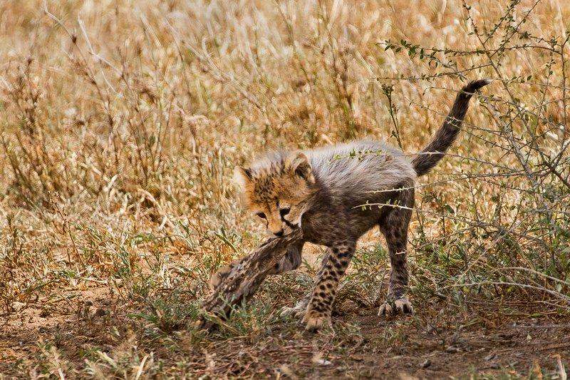 large_Cheetah_27.jpg