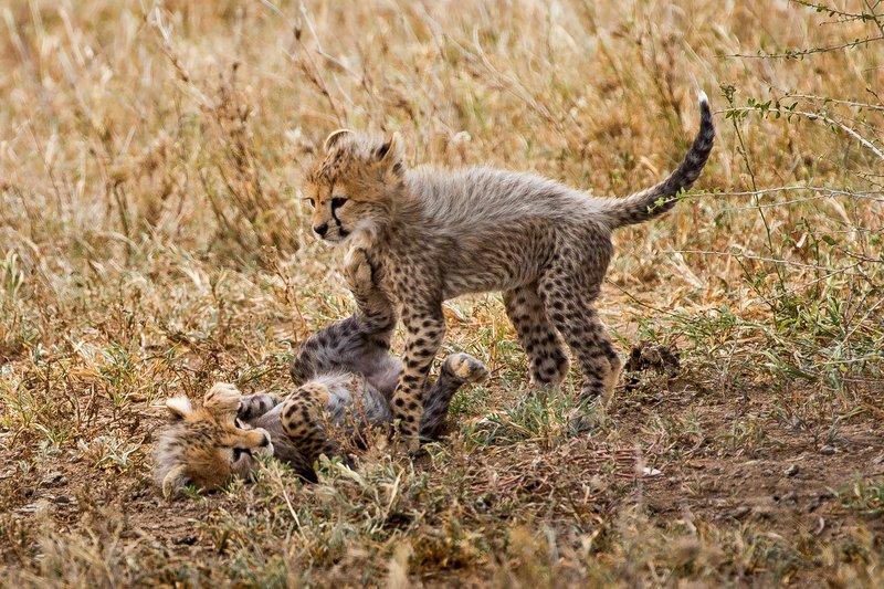 large_Cheetah_31.jpg