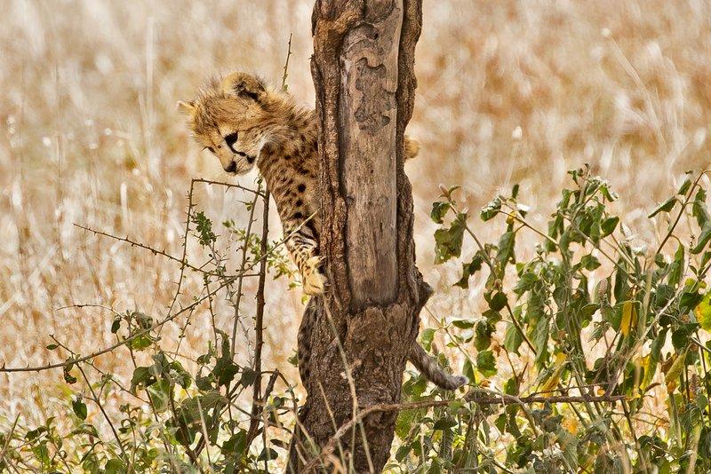 large_Cheetah_33.jpg