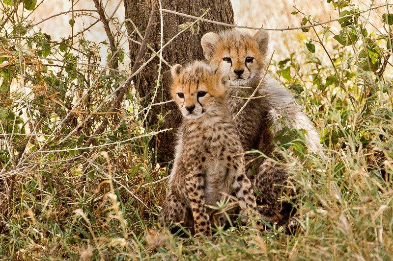 large_Cheetah_35.jpg