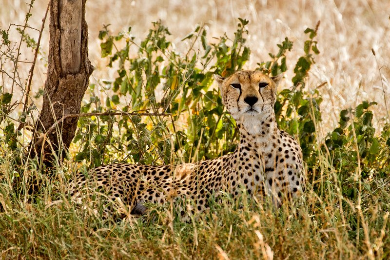 large_Cheetah_38.jpg