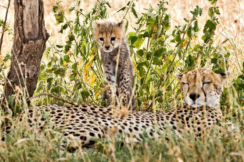 large_Cheetah_41.jpg