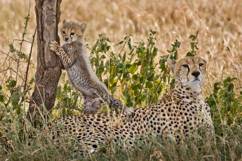 large_Cheetah_42.jpg
