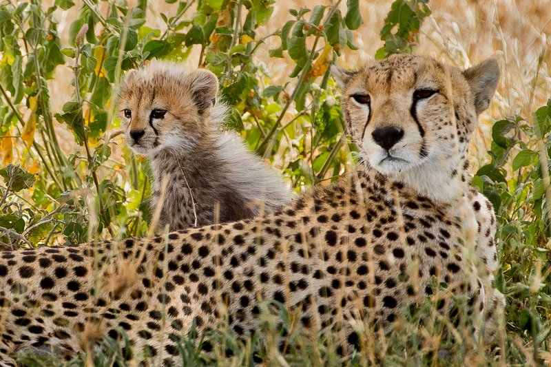 large_Cheetah_43.jpg