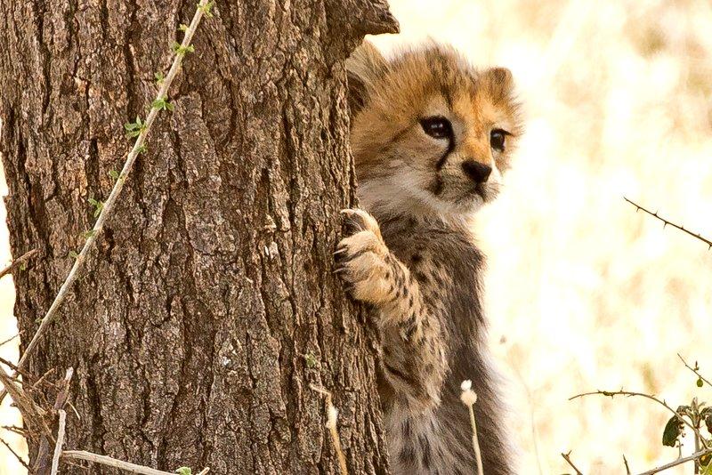 large_Cheetah_45.jpg