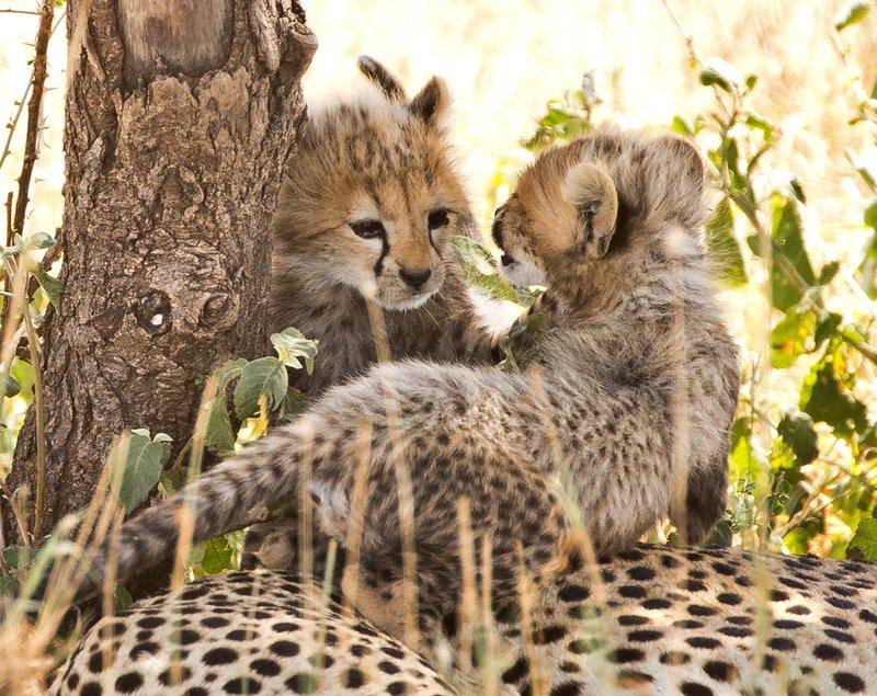 large_Cheetah_65.jpg