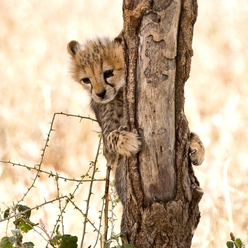 large_Cheetah_70.jpg
