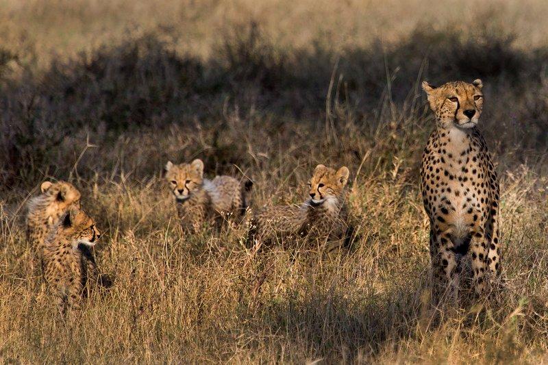large_Cheetah_8-1.jpg