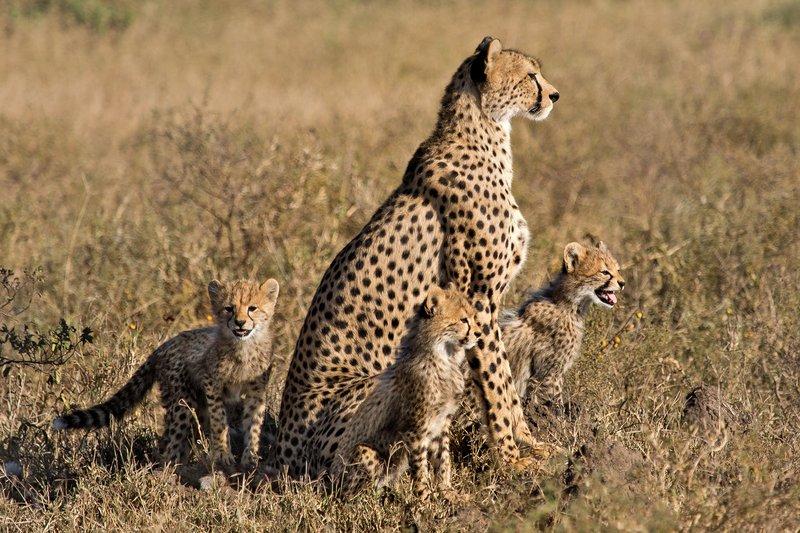 large_Cheetah_8-104.jpg