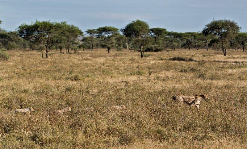 large_Cheetah_8-107.jpg