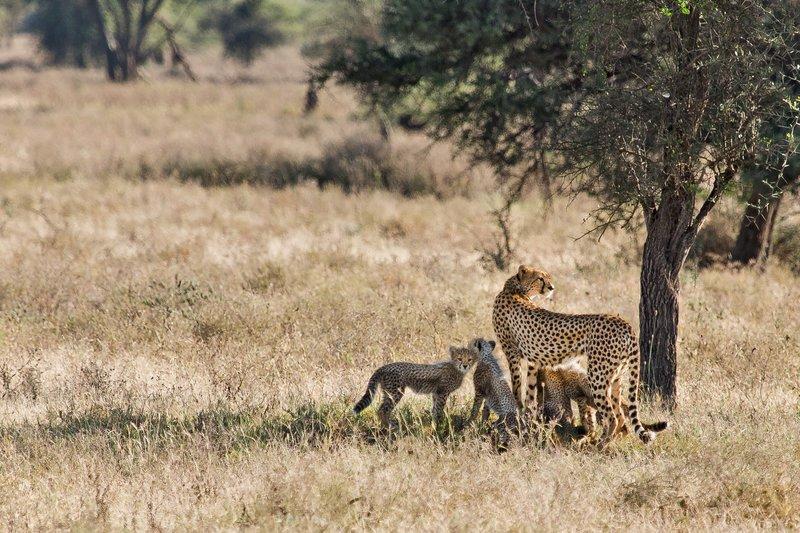 large_Cheetah_8-108.jpg