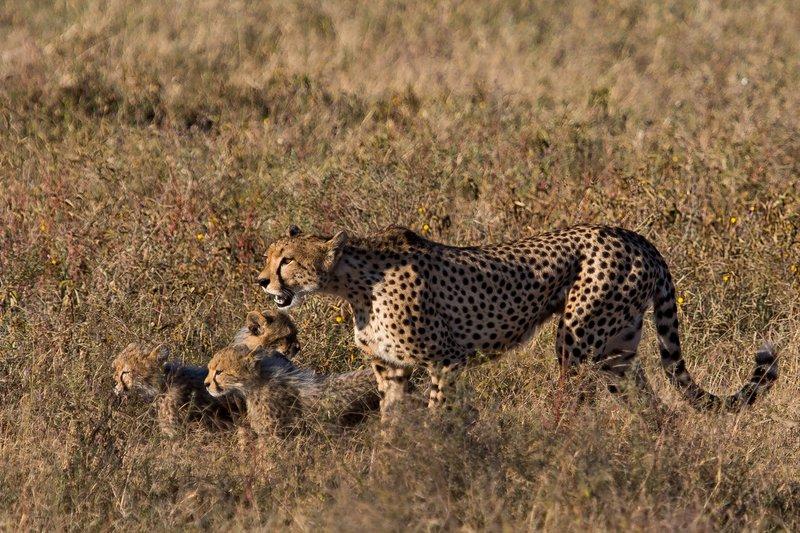 large_Cheetah_8-13.jpg