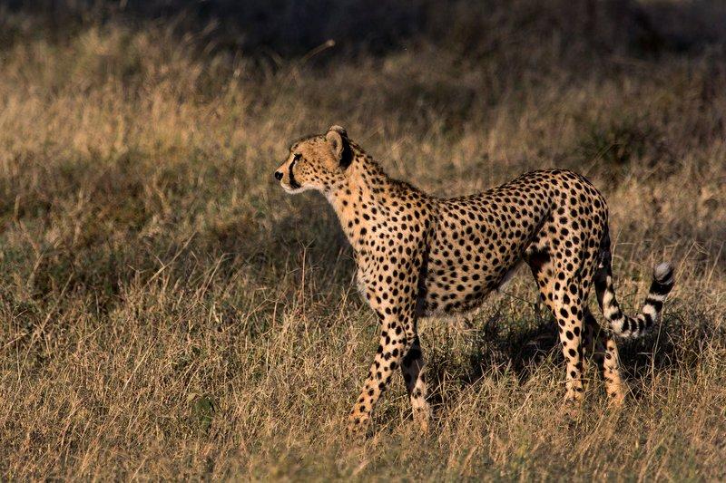 large_Cheetah_8-2.jpg