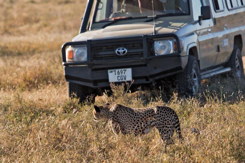 large_Cheetah_8-32.jpg