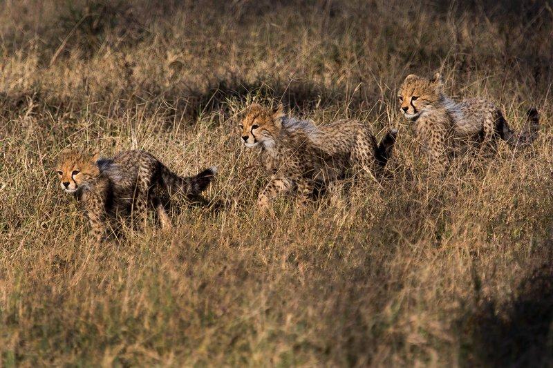 large_Cheetah_8-4.jpg