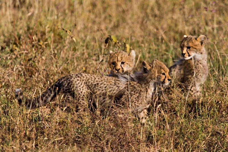 large_Cheetah_8-43.jpg