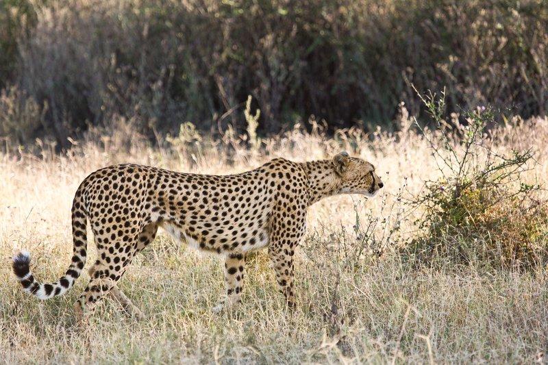 large_Cheetah_8-57.jpg