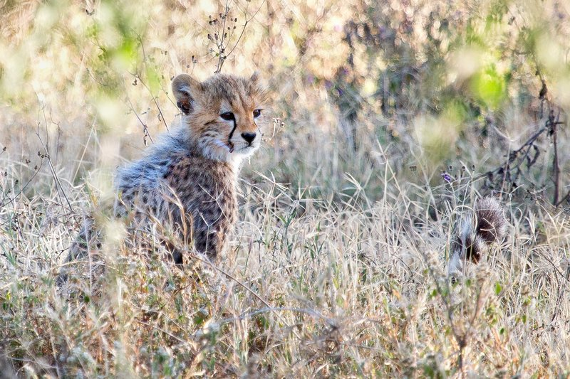 large_Cheetah_8-79.jpg