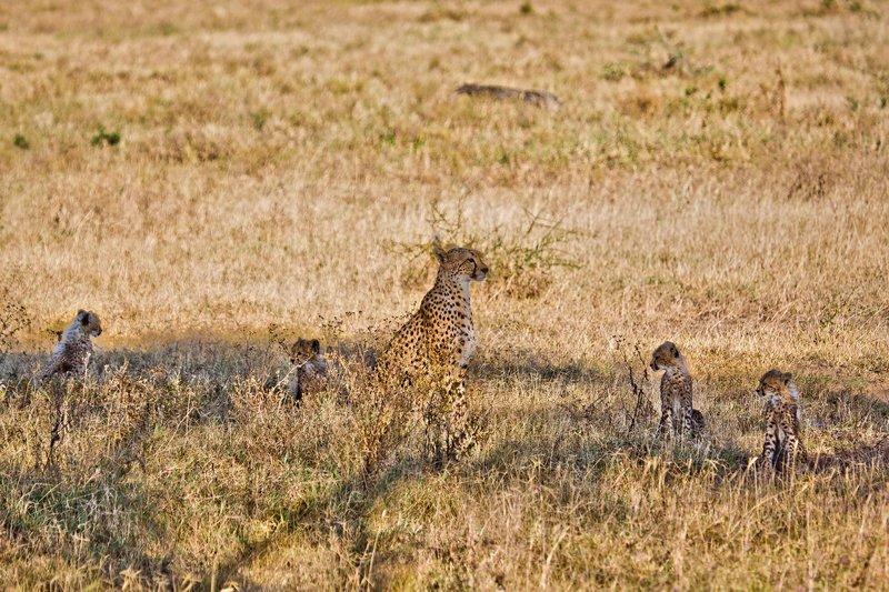 large_Cheetah_8-80.jpg