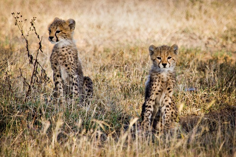 large_Cheetah_8-81.jpg