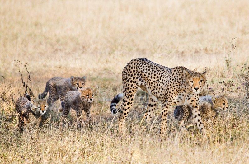 large_Cheetah_8-85.jpg