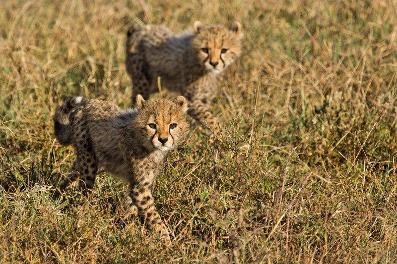 large_Cheetah_8-88.jpg