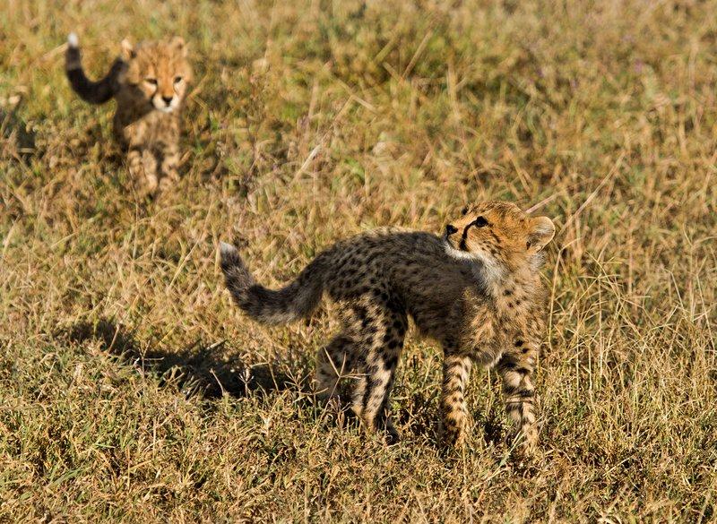 large_Cheetah_8-90.jpg