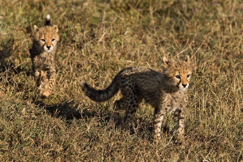 large_Cheetah_8-91.jpg