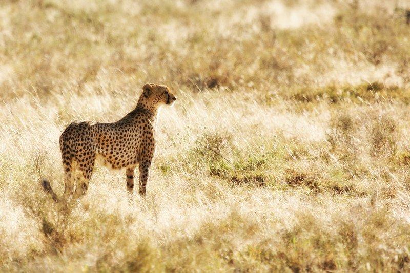 large_Cheetah_8-94_Nik.jpg