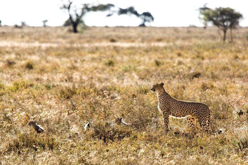 large_Cheetah_8-95.jpg