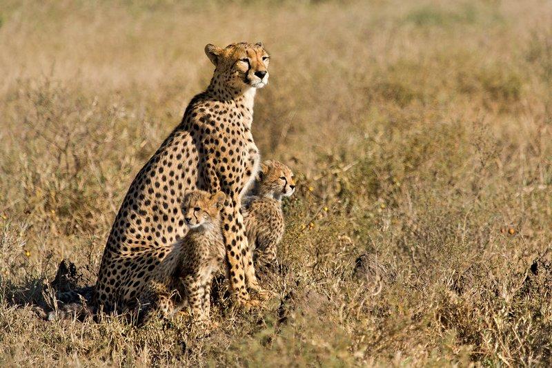 large_Cheetah_8-98.jpg